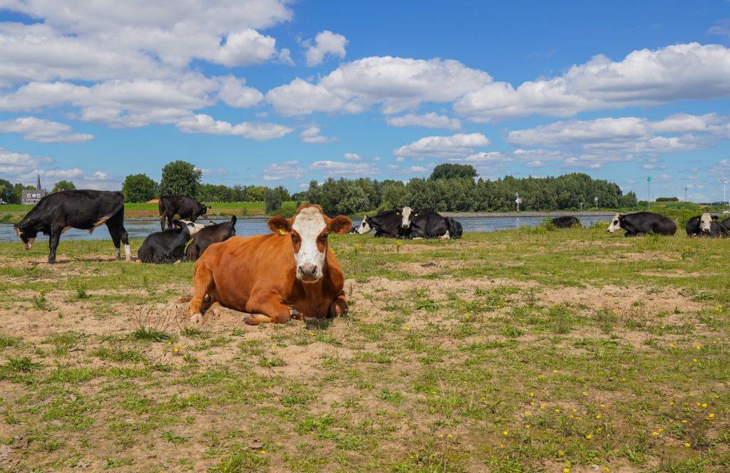 cows along my trip of raising the bar